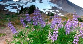 Mt Hood's Floral Splendor